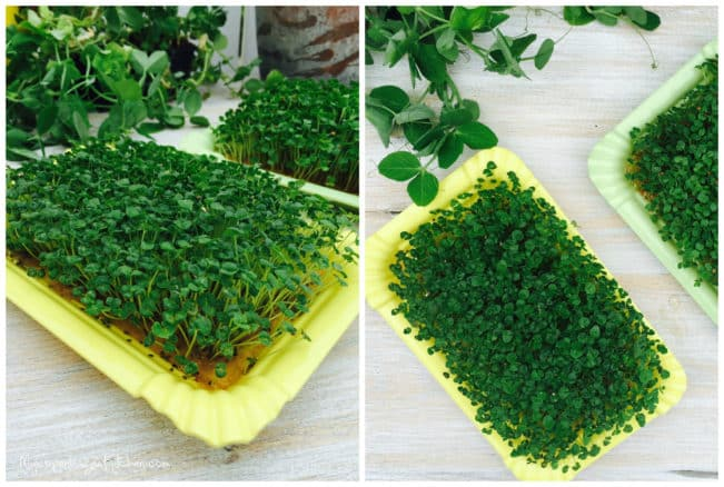 How to make chia sprouts at home - Easy DIY --> MyCopenhagenKitchen.com
