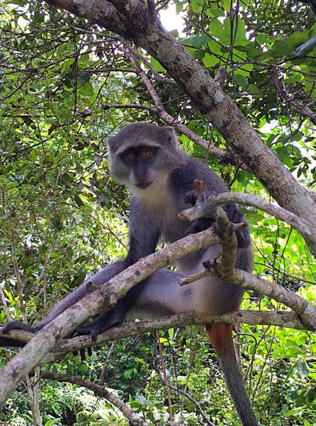 Jozani National Park, Red Colobus monkey, Zanzibar
