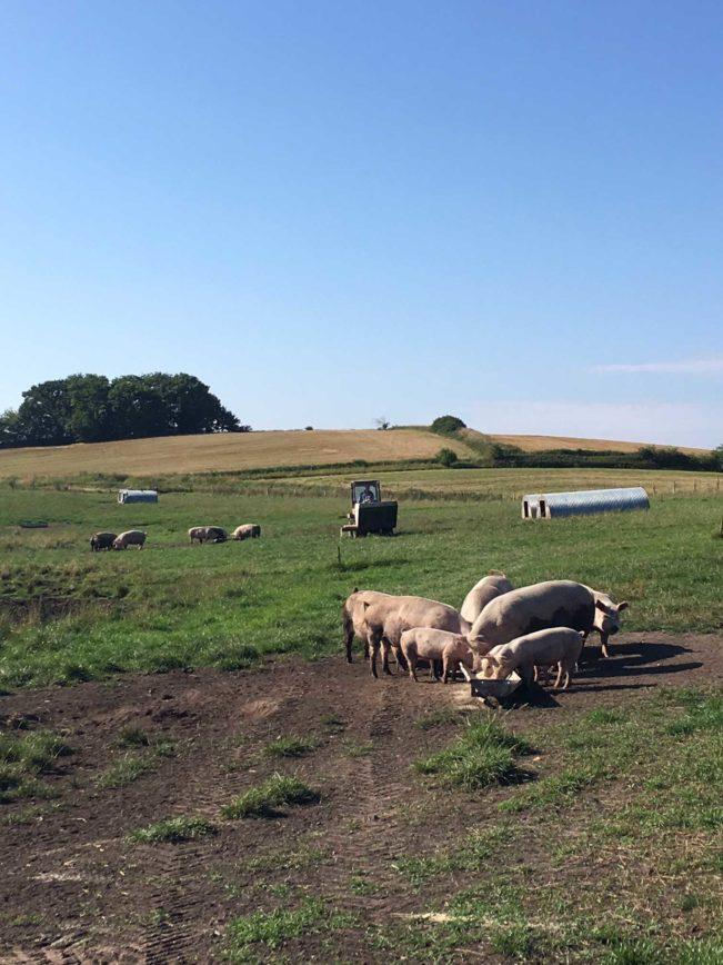 På besøg på Gelstrupgård. En økologisk gård på sjælland.